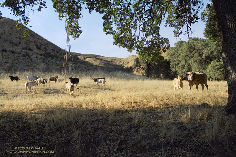 From time to time I've encountered cattle on the northern sections of the Chumash - Las Llajas Loop. This photo is from August 2009.