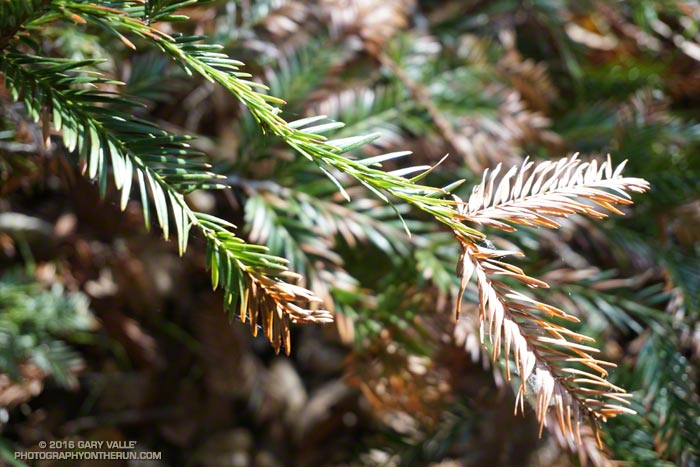 Browning foliage of a coast redwood along Century Lake in Malibu Creek State Park. March 26, 2016.