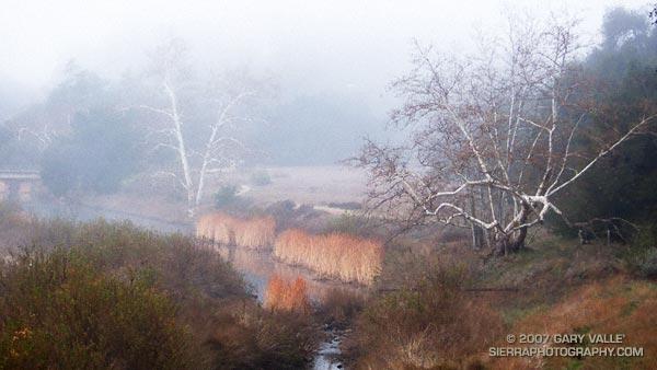 Fog shrouded sycamores along Malibu Creek in Malibu Creek State Park.