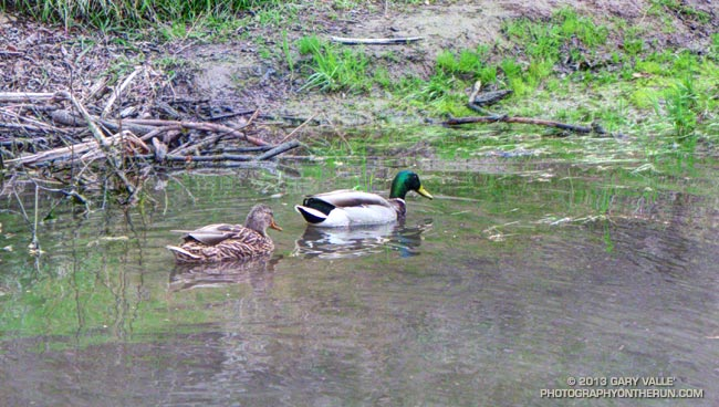 Mallards on Upper Las Virgenes Creek