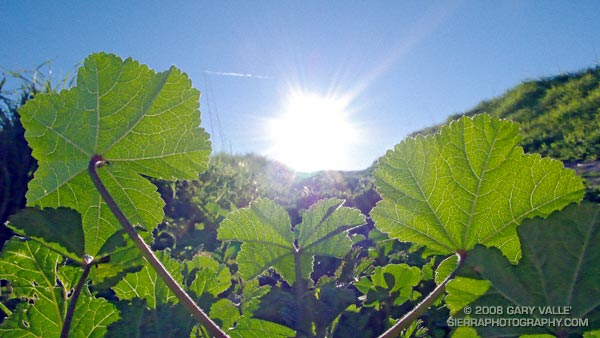 Mallow leaves tracking the sun.