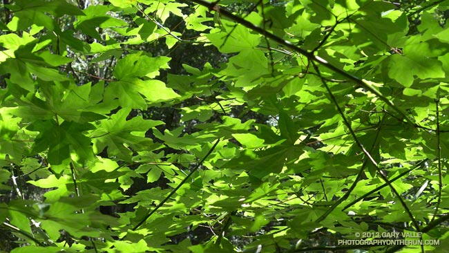Big leaf maple leaves along the Gabrielino Trail
