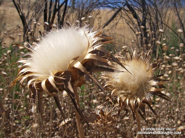 Milk Thistle (Silybum marianum) seed heads.