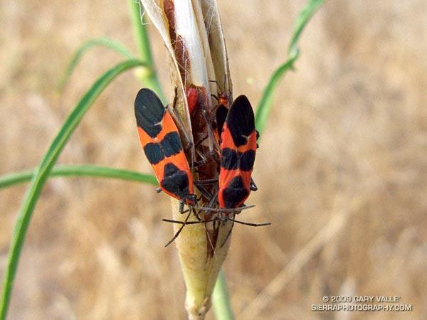 Large milkweed bugs (Oncopeltus fasciatus) on narrow-leaf milkweed