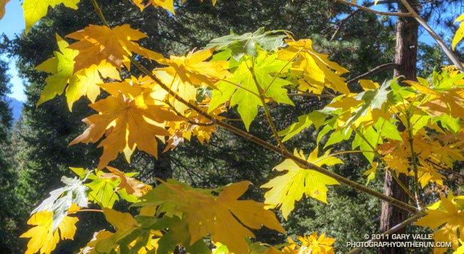 Autumn colors of bigleaf maple leaves along Mill Creek Canyon.