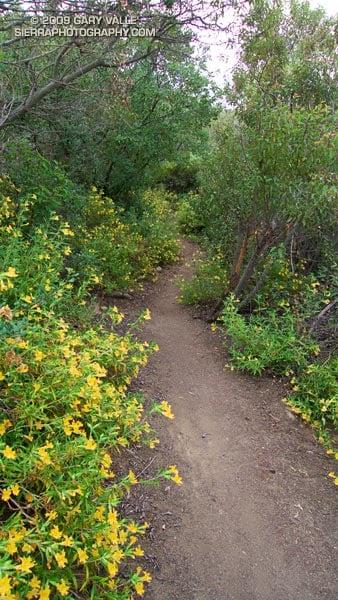 Bush monkeyflower along the Secret Trail.