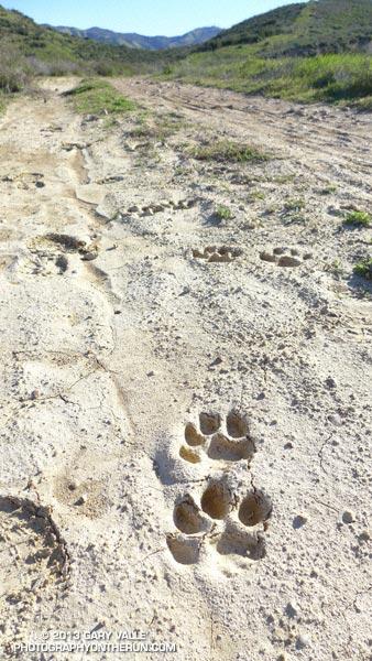 Mountain Lion Tracks on Rocky Peak Road