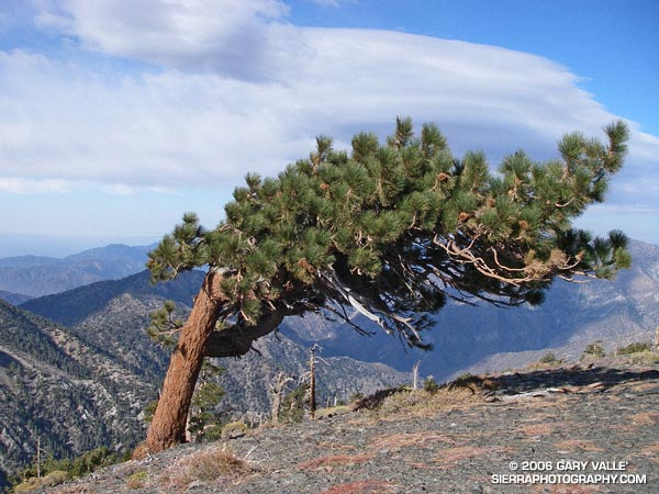 Wind-swept Jeffrey Pine and Wave Clouds.