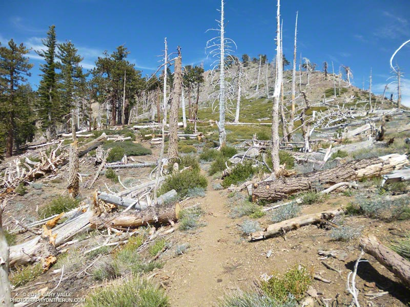 Trees burned in the 2002 Curve Fire along the PCT west of Mt. Hawkins. Some of the fallen trees were likely blown down by very strong winds during a storm on February 28, 2014. That day the Chilao RAWS recorded wind gusts as high as 91 mph.