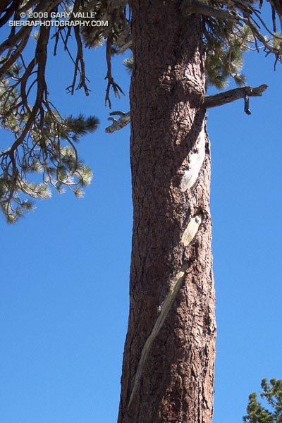 An unusual, offset lightning scar on a Jeffrey pine in the San Gabriel Mountains, near Los Angeles.