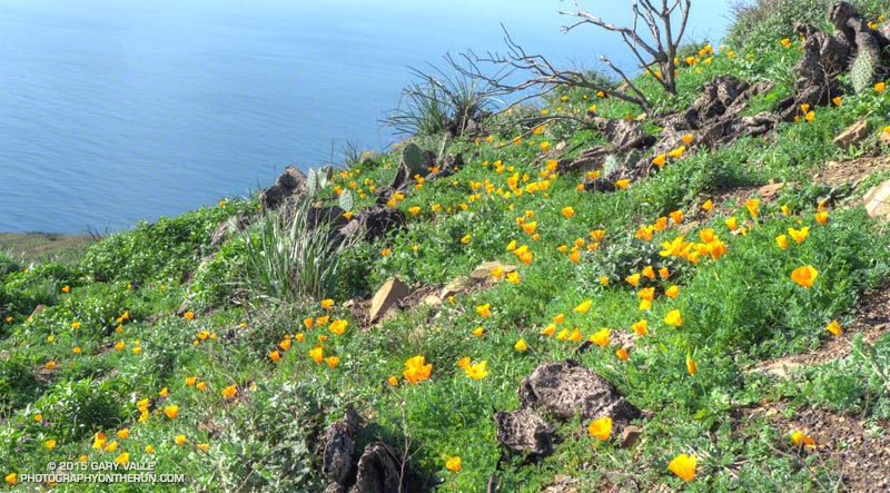 California poppies (Eschscholzia californica) on the east side of Mugu Peak. January 31, 2014.