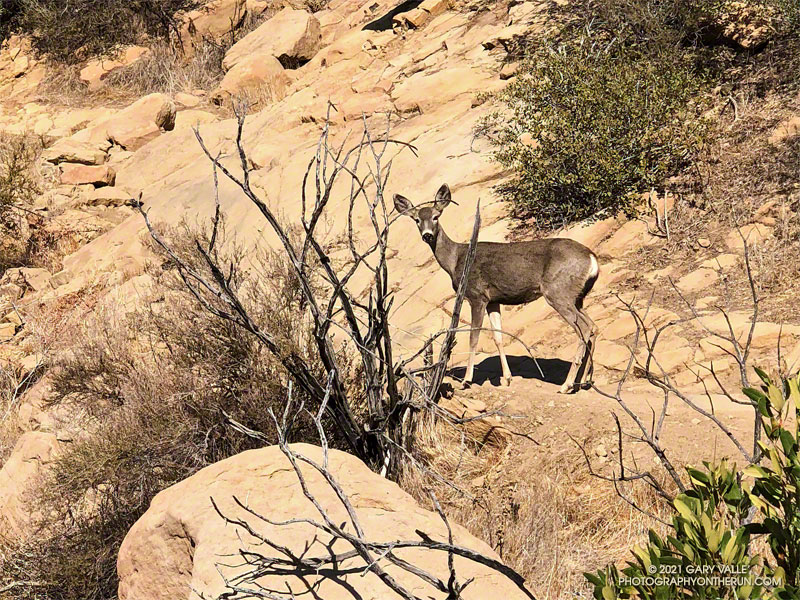 Mule deer on the Chumash Trail in Simi Valley