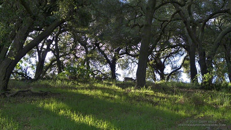 Early morning sun filtering through the oaks at Trippet Ranch. Although it's difficult to see all of them, there are three mule deer grazing among the oaks. February 13, 2011.