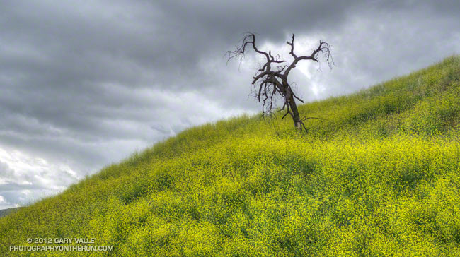 Brassica nigra in Upper Las Virgenes Canyon Open Space Preserve
