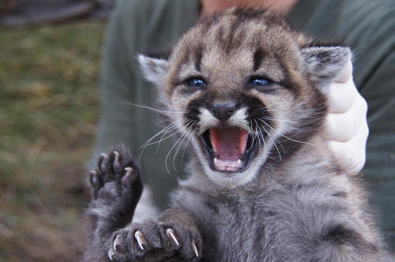 One of two mountain lion kittens found in the Santa Monica Mountains east of Circle X Ranch this summer. Photo courtesy of the National Park Service.