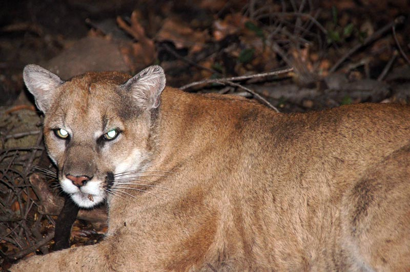 P22, an approximately three year old adult male mountain lion, captured and released in the Griffith Park area by biologists from Santa Monica Mountains National Recreation Area.  Photo courtesy of the National Park Service.