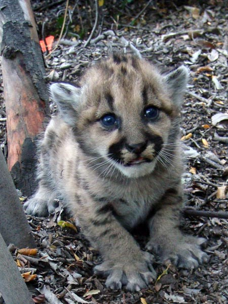 One of three mountain lion kittens found in May 2010 by National Park Service researchers in an area of the Santa Monica Mountains west of Malibu Creek State Park. Photo courtesy of the National Park Service.