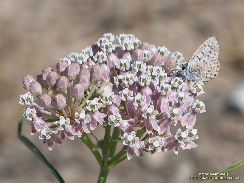 An Acmon Blue butterfly on narrow-leaved milkweed on Lasky Mesa. August 6, 2020.