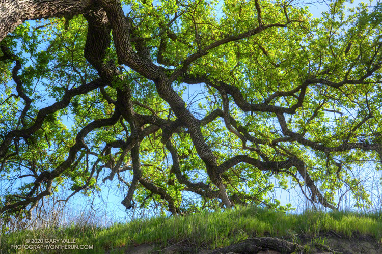 Valley oaks are deciduous, and at Ahmanson Ranch lose their leaves for a short period during the Winter. This sprawling oak in East Last Virgenes Canyon has just grown fresh, green foliage. March 11, 2020.