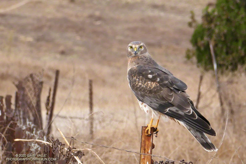 Male Northern Harrier on Lasky Mesa in Upper Las Virgenes Canyon Open Space Preserve