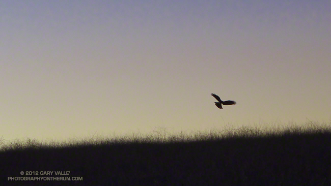 Northern harrier turning to strike prey