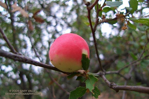 Scrub oak apple gall.
