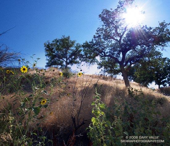 Sun, oaks and sunflowers at Ahmanson Ranch.