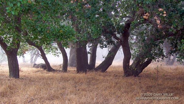 Live oaks at Sage Ranch Park.