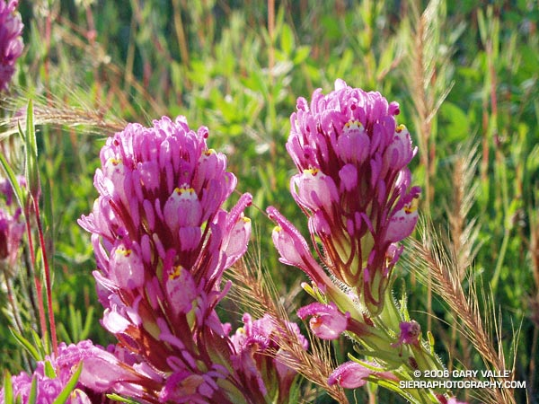 Owl's Clover, in this case Castilleja exserta, is a fairly common California native.