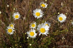 Oxeye Daisy along the Old Ranch Trail in San Bruno Mountain Park