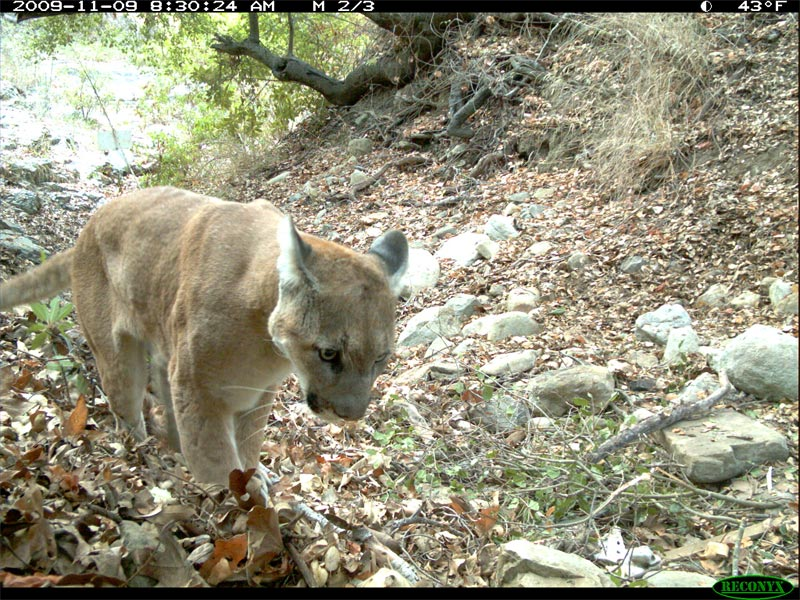 A wildlife camera photograph of male mountain lion P15. P15 was found deceased on September 11, 2011 and reportedly did not die of natural causes. Photo courtesy of the National Park Service.
