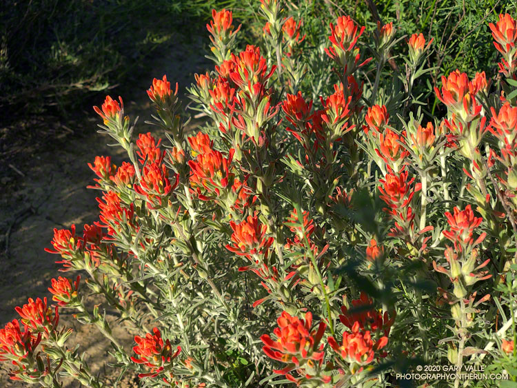 Woolly paintbrush above Las Llajas Canyon