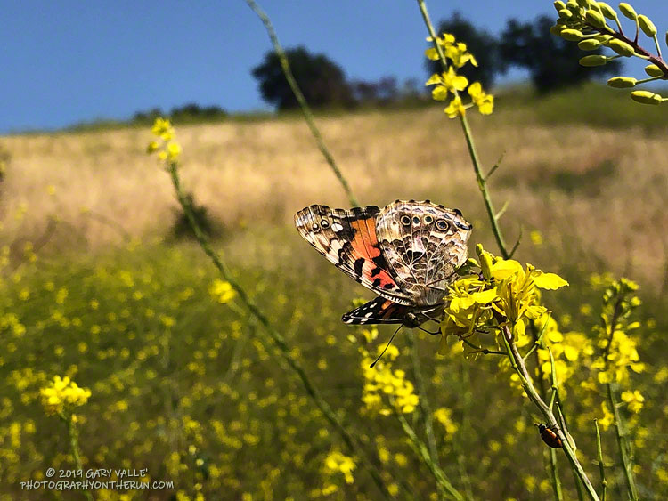 Closed-wing photo of painted lady (Vanessa cardui) in Upper Las Virgenes Canyon Open Space Preserve showing the characteristic four eyespots of the species on the hindwing. May 14, 2019.