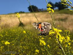 Painted lady in Upper Las Virgenes Canyon Open Space Preserve with the characteristic four eyespots on the hindwing.