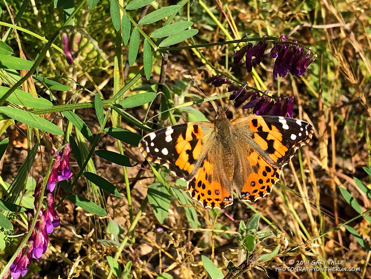 Open-wing photo of painted lady (Vanessa cardui) in Upper Las Virgenes Canyon Open Space Preserve. Compare with the features discussed in <a href=