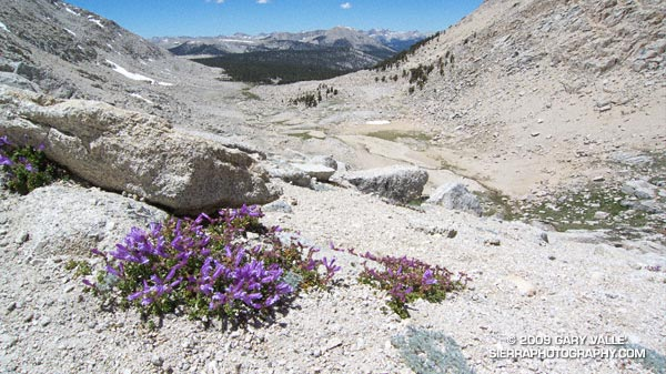 Penstemon (Penstemon davidsonii) on the western approach to New Army Pass.