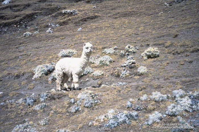 Alpaca along a trail in the Peruvian Andes