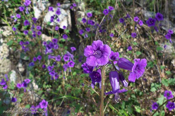 California bluebell (Phacelia minor)