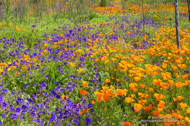 Parry's Phacelia and California Poppy along the Old Boney Trail in Pt. Mugu State Park.