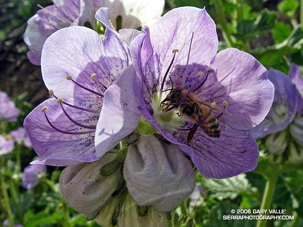 Honey Bee on Large Flowered Phacelia.