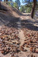 Path through Jeffrey pine cones along the South Mt. Hawkins Trail/Road