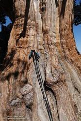 Massive trunk of the Pine Mountain Juniper