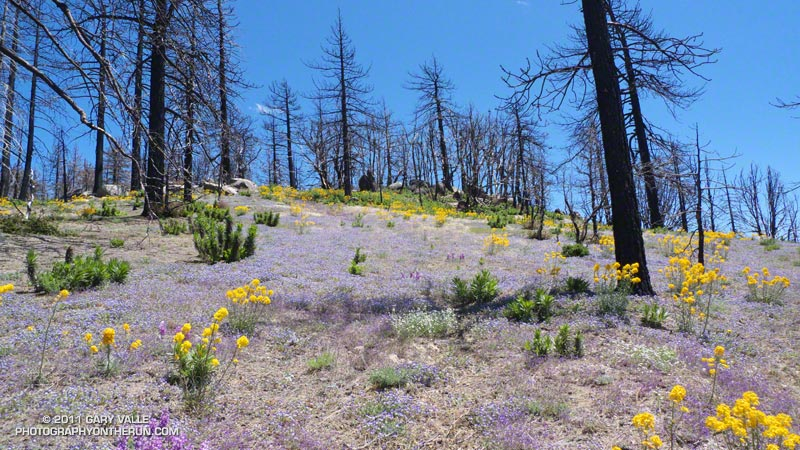 Burned pines along the Three Points - Mt. Waterman trail (10W04) about a mile from Three Points. The bright yellow flowers are Wallflower. May 29, 2011.