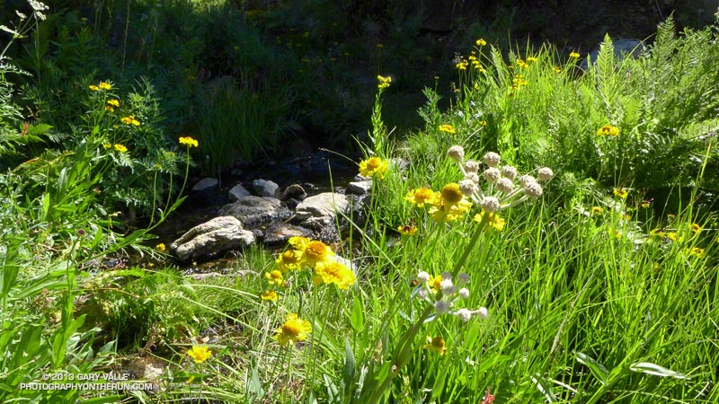Greenery and flowers along the small stream at Plummer Meadows, The yellow flowers are sneezeweed. About 8 miles into the run, at about 8950'. August 10, 2013.
