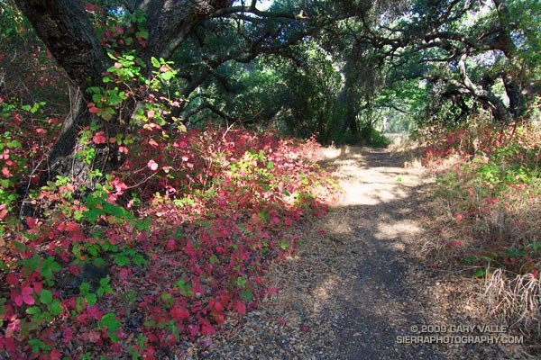 Poison Oak along the Blue Canyon Trail.