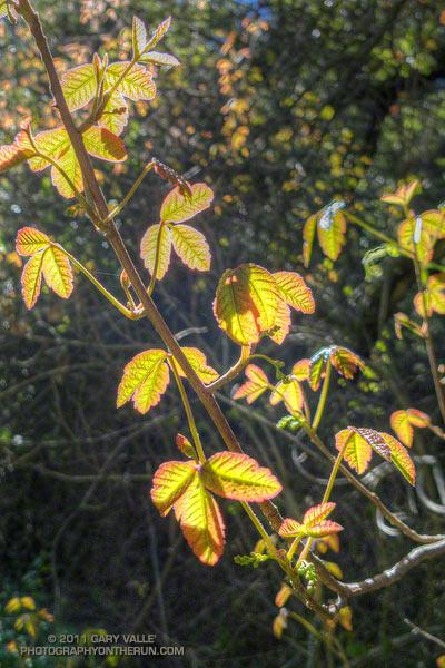 Poison Oak Along the Phantom Trail