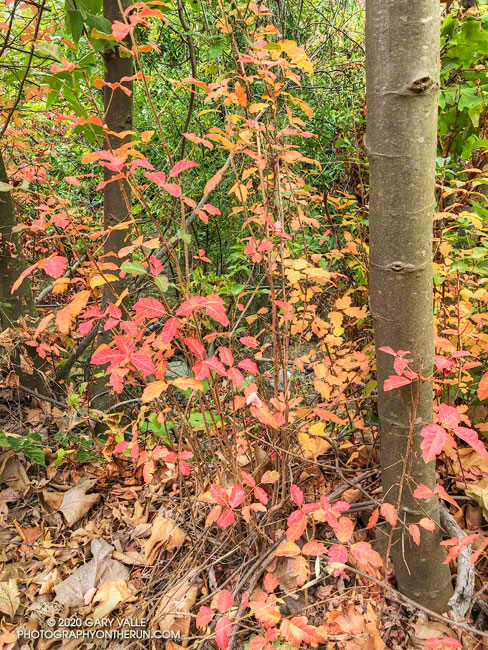 reds and yellows of changing poison oak leaves
