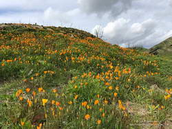 California poppies in Las Virgenes Canyon