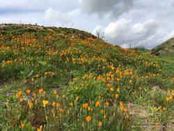California poppies in Las Virgenes Canyon