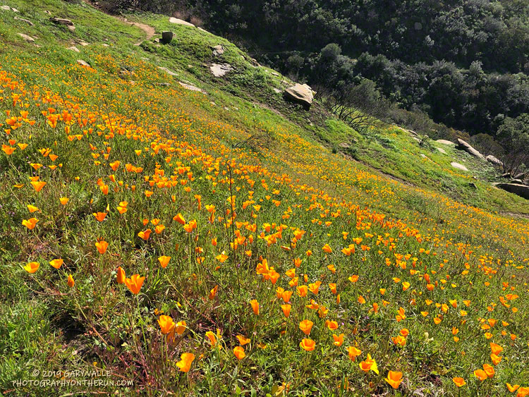 California Poppies Along the Lower Stagecoach Trail above Corriganville in Simi Valley